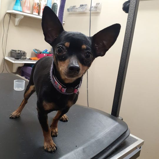 The surviving Chihuahua has been named Lucky LuLu.