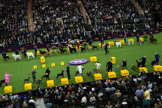Dogs compete in the working group at the Westminster Kennel Club Dog Show on Tuesday, Feb. 11, 2020, in New York.
