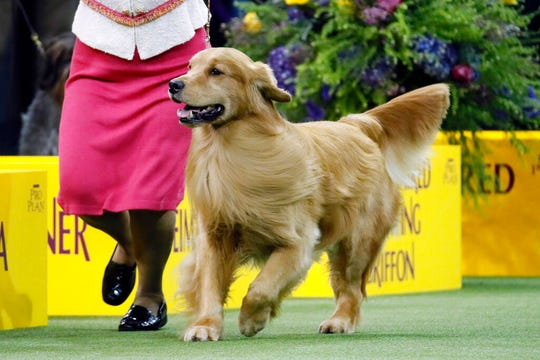 Daniel, the golden retriever, wins the sporting group during 144th Westminster Kennel Club dog show, Tuesday, Feb. 11, 2020, in New York.