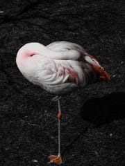 Photograph of a flamingo, by Radie Steiner of Steiner Studios. Artists Radie and Evan Steiner met via Instagram, before dating cross country and getting married. The couple has now combined their creative talents to form Steiner Studios, which provides art to the Hospitality industry.