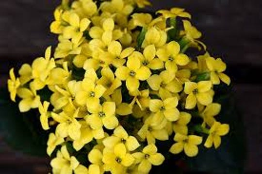 Kalanchoe comes in multiple colors, including yellow.