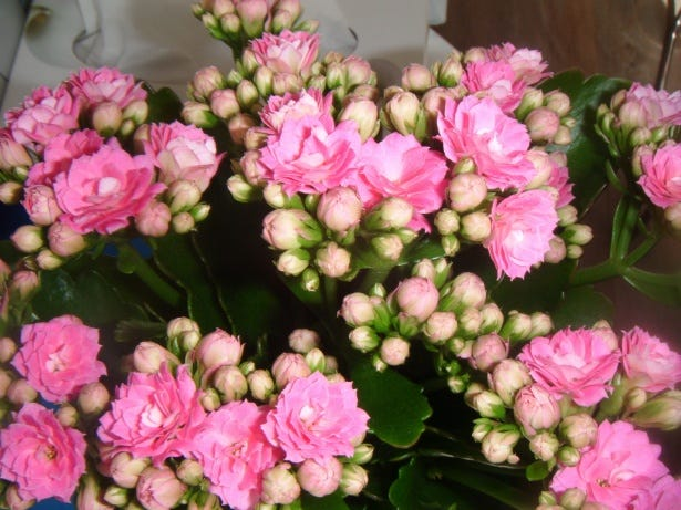 Kalanchoe, also sold under the brand name Calandiva, is an easy-to-grow succulent.