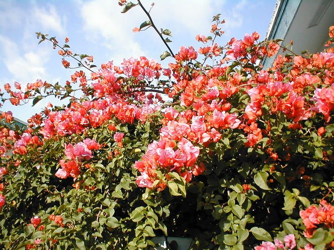 Bougainvillea does well in any soil type. It blooms best in full sun and when on the dry side.