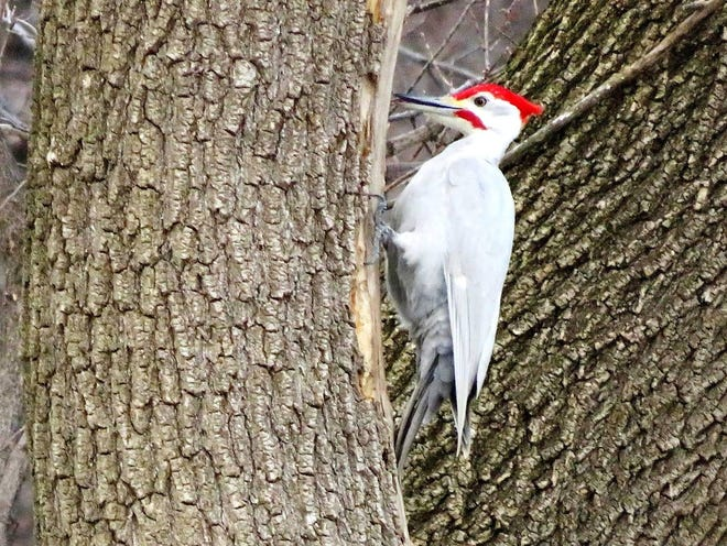 A pileated woodpecker forages on a tree Saturday in the Milwaukee River Parkway in Glendale. The bird has a leucistic coloration, meaning it lacks certain pigments.