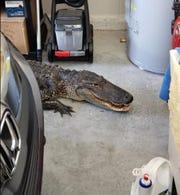 An alligator wanders into a garage.