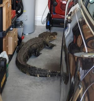 The 7-foot-long alligator walked into the garage in Sarasota County.