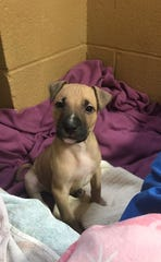 One of the puppies rescued from Fair Lawn home on Morlot Avenue currently at Bergen County Animal Shelter