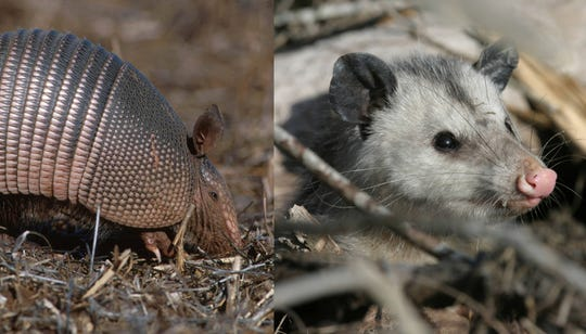 Opossums and armadillos have both been recorded moving northward in recent decades.