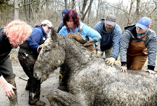 Kathi Goodman of Fawn Township, center, and others try to help Tonka to his feet after the 22-year-old Percheron draft horse was found trapped in mud in the township on Feb. 12, 2020.  Bill Kalina photo