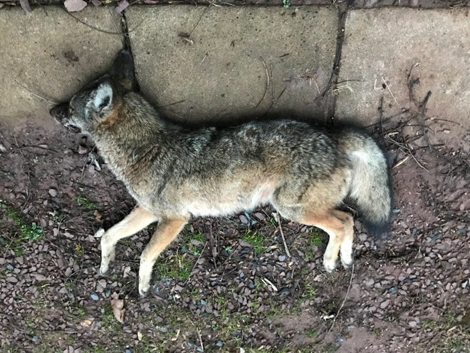 This small female coyote attacked a dog, scratched its owner, then bit another man in the leg along Red Bank Road in Newberry Twp. on Feb. 10, 2020. The coyote was tracked down and killed the next day, according to the PA Game Commission.