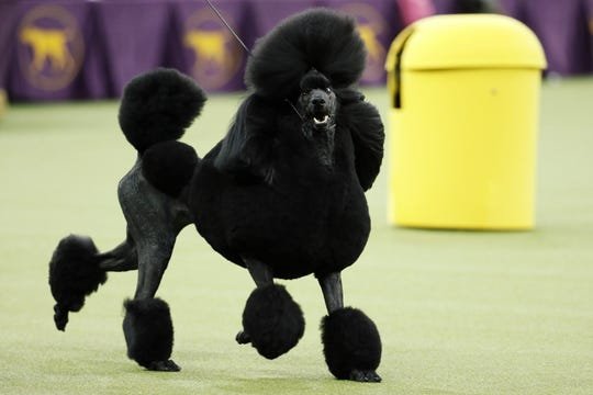 Siba, a 3-year-old standard poodle that won the Best in Show award at the Westminster Kennel Dog Show Tuesday night at Madison Square Garden, has a York County connection.