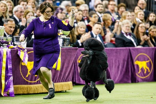 Handler Chrystal Murray-Clas, of Penn Township, takes Siba around the ring at the 144th Westminster Kennel Club dog show Tuesday. Siba won Best of Show at the competition.