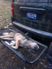 The Pennsylvania Game Commission says this dead coyote attacked two men and a dog on Monday and was shot dead on Tuesday in the Newberry Township area. Its body was sent to a lab for testing.