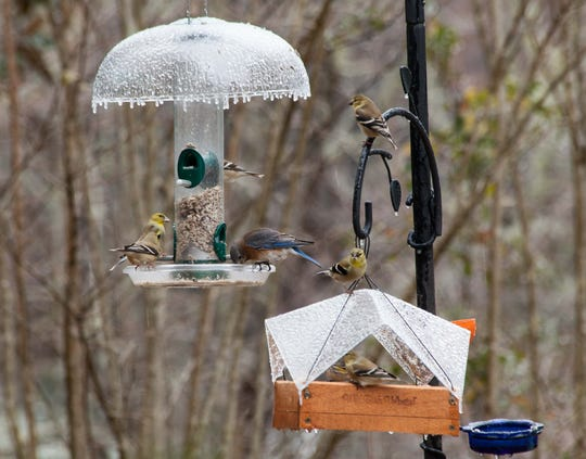 Goldfinch and a bluebird gather at the feeders on a cold day.