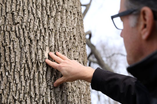 Ed McGowan, the Palisades Interstate Parks Commission's regional director of science, examines signs of a white ash tree that is being infested by the emerald ash borer at Rockland Lake State Park Feb. 12, 2020. About 800 trees in the park are infested and about 400 will be taken down.