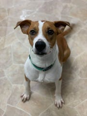 Leo is a 2-year-old hound mix. He's up for adoption at the Clark County Humane Society.