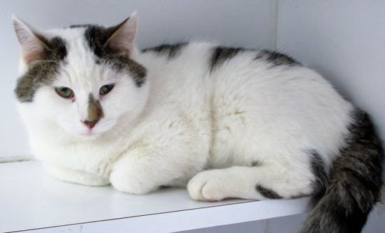 Toshi is a 2-year-old cat up for adoption at the Clark County Humane Society