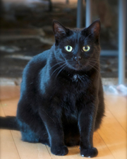 Pagoda is a 2-year-old domestic short hair who is up for adoption at the Humane Society of Portage County.