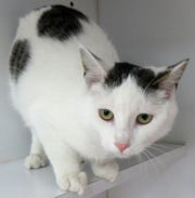 Kenji is a 2-year-old cat up for adoption at the Clark County Humane Society.