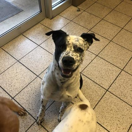 Buddy is a 1-year-old American Bulldog Pointer and he's up for adoption at the Humane Society of Marathon County.