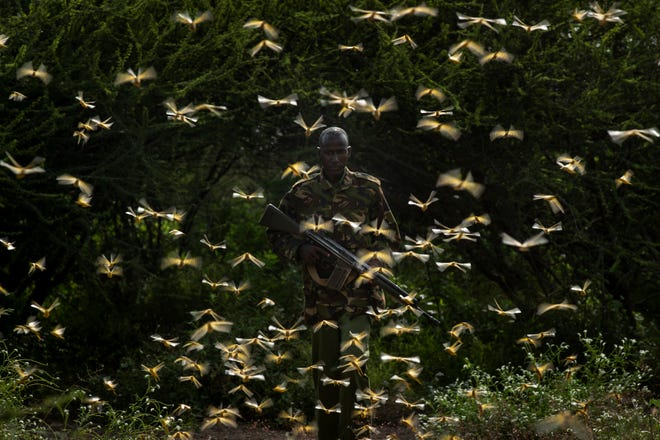 In this photo taken Saturday, Feb. 1, 2020, ranger Gabriel Lesoipa is surrounded by desert locusts as he and a ground team relay the coordinates of the swarm to a plane spraying pesticides, in Nasuulu Conservancy, northern Kenya. As locusts by the billions descend on parts of Kenya in the worst outbreak in 70 years, small planes are flying low over affected areas to spray pesticides in what experts call the only effective control.