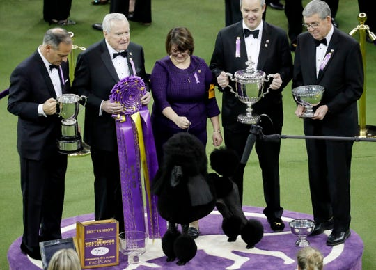Siba the Standard Poodle poses for photos after winning Best in Show at the 144th Westminster Kennel Club Dog Show.