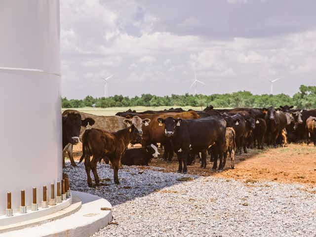 "Cattle at the Arbuckle Mountain Wind Farm in Murray County, Oklahoma. The formation is known as a ""bovine sundial."" When the weather is hot, the cattle line up in the shade of the wind turbine tower, slowly shuffling to the side as the shadow moves with the sun."