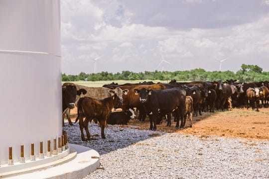 """When the weather is hot, cattle at the Arbuckle Mountain Wind Farm in Murray County, Okla., line up in the shade of the """"bovine sundial,"""" a wind turbine tower, and slowly shuffle to the side as the shadow moves with the sun."""