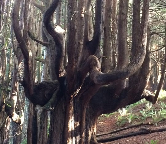 The redwoods in Mendocino's Lost Coast Trail have been twisted by the salty sea air along with fire and coastal winds, creating trees that resemble candeabras.