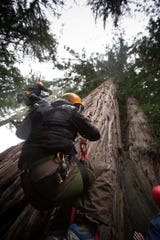 """""""There's just nowhere else on the planet that I know of that one can legally climb into a redwood"""" other than in the Santa Cruz Mountains, says Tim Kovar, owner of Tree Climbing Planet."""