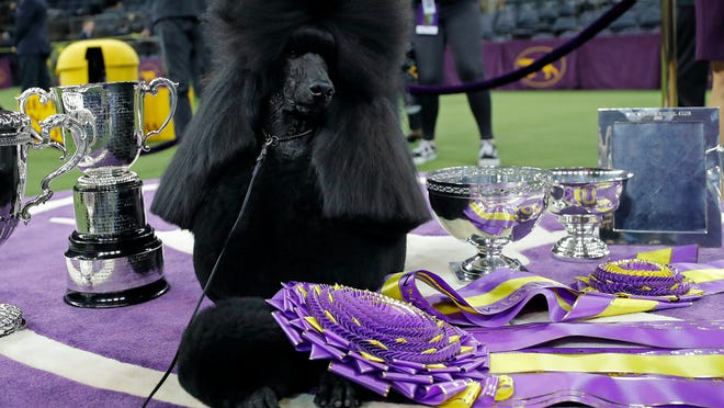 Westminster Dog Show crowns Siba, the standard poodle