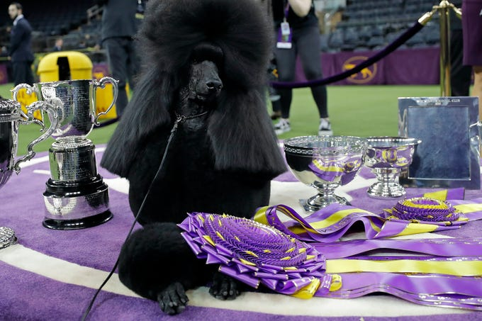 Siba, a Standard Poodle, wins Best in Show during the 144th Annual Westminster Kennel Club Dog Show.