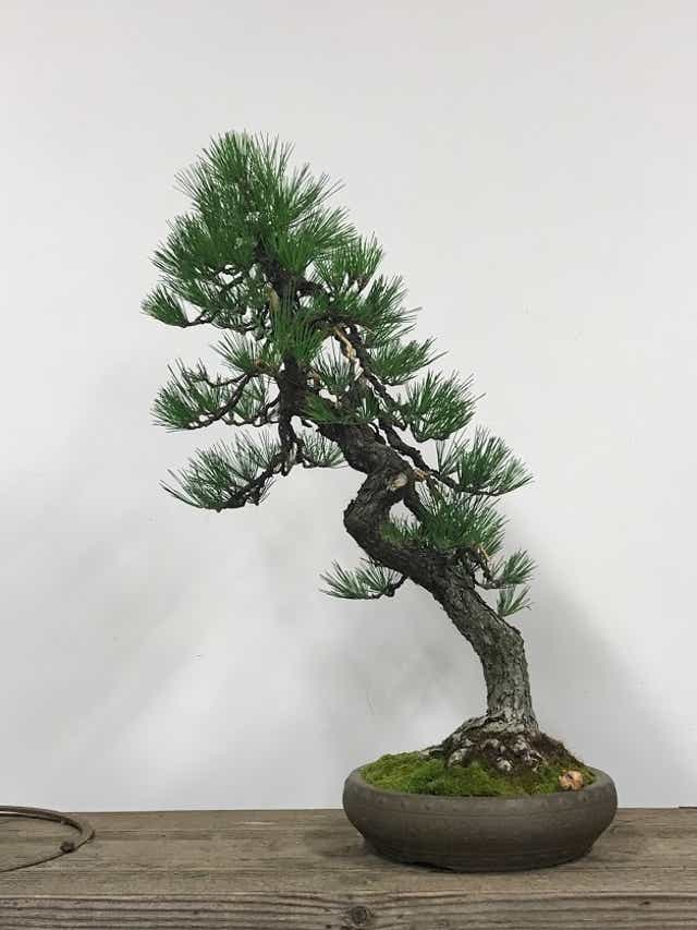 Stolen Bonsai Trees Returned In Washington Pacific Bonsai Museum Says