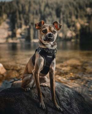 """Otis, a dog rescued by Kitsap Humane Society in Poulsbo, will compete for """"Best in Underbite"""" at the American Rescue Dog Show."""