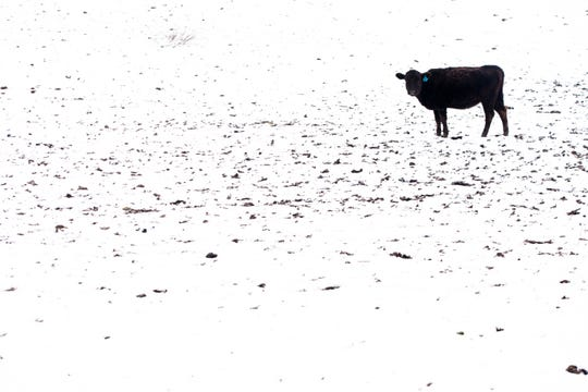 A calf on the Massie property in Lewis County, Ky., on Friday, Feb. 7, 2020.