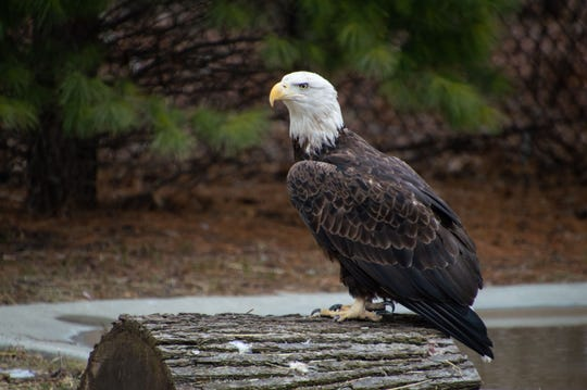 This 4-year-old female bald eagle named Captain Marvel has been brought to the Detroit Zoo.
