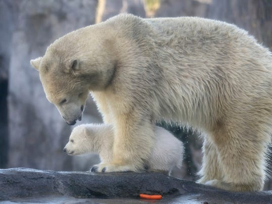 A polar bear baby walks with its mother Nora through the enclosure at the Schoenbrunn zoo in Vienna, Austria.