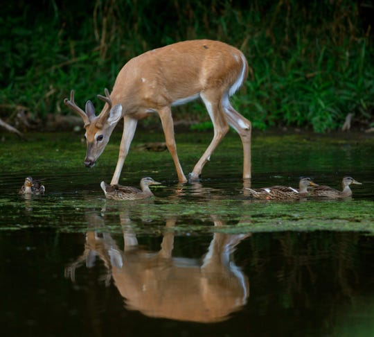 A white-tailed deer buck and mallard ducks move through shallow water in the Greater Fouty-Rutkowski Pond at dusk in East Lansing in this  Aug. 12, 2011, file photo.