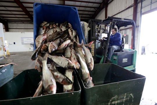 In this Feb. 11 photo, Asian carp are unloaded at Two Rivers Fisheries in Wickliffe, Ky. Asian carp were imported to the U.S. in the 1960s and 1970s as an eco-friendly alternative to poisons for ridding southern fish farms and sewage lagoons of algae, weeds and parasites. The advance of the invasive carp, however, threatens to upend aquatic ecosystems, starve out native fish and wipe out endangered mussel and snail populations along the Mississippi River and dozens of tributaries. (AP Photo/Mark Humphrey)