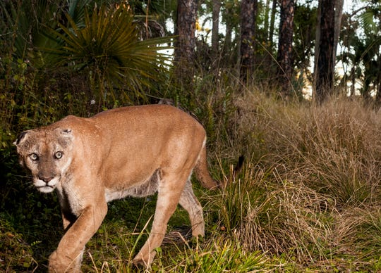 A male panther roams the Corkscrew Regional Ecosystem Watershed on Feb.3, 2020. Males are often found north of Caloosahatchee River, but females stay further south. A second female panther with a young kitten was recently documented in Charlotte County. Panther advocates say this is good news for the recovering species.