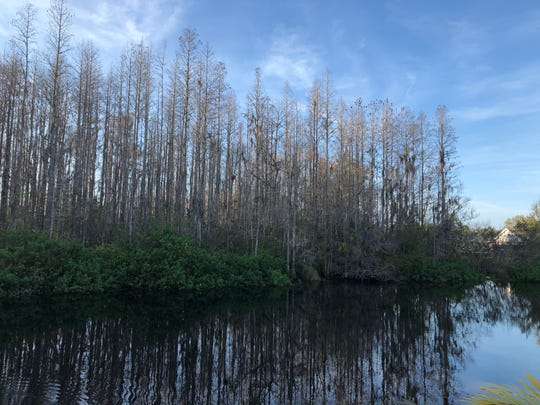 Baldcypress at the edge of the swamp, New Port Richey, Florida