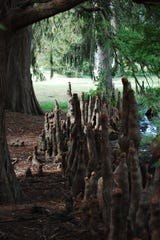 Baldcypress knees - woody growths from the roots that are produced in the flooded areas known as cypress swamps.