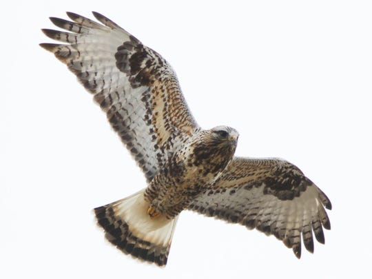 Rough-legged hawk.