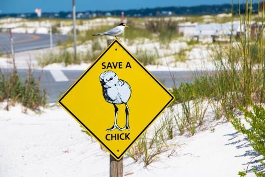 A sign warns beach visitors to pay attention to shorebird chicks during nesting season. The season runs from mid-February through September.