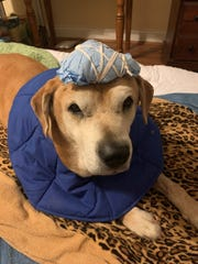 A dressing on Betty's head keeps her bullet wound clean until the hole can be closed in a surgery scheduled soon.