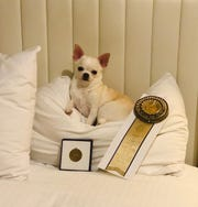 Blondie rests on her laurels...er...pillow, alongside her medals.