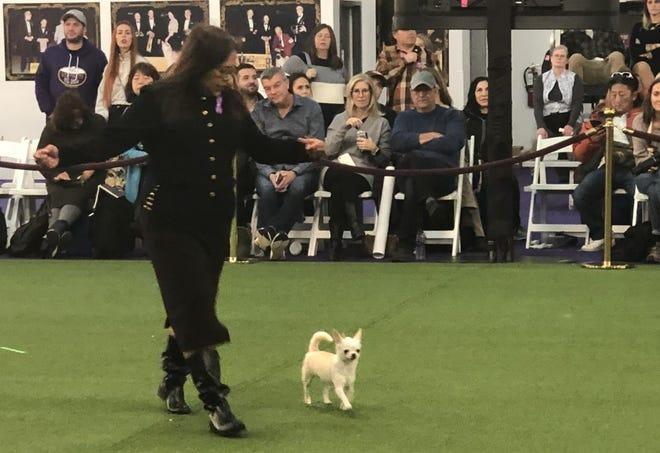 Josie Ornum shows off Blondie at the 2020 Westminster Dog Show.
