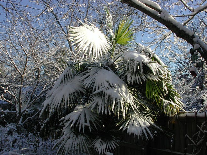 Windmill palm is frequently grown as an ornamental, and can tolerate cold rather well, sometimes in the winter draped with snow and ice.