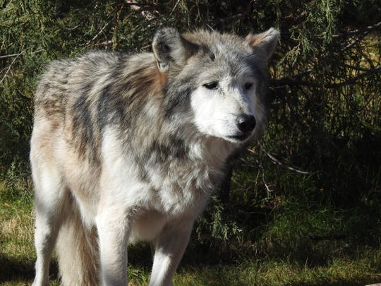 El Paso Zoo staff are mourning the death of a Mexican gray wolf.