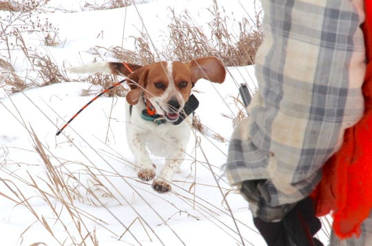 Raven, a 2-year-old beagle, runs through a snow-covered field on a hunt for cottontail rabbits near Hazel Green, Wis.